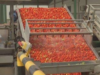 01 recogida tomate